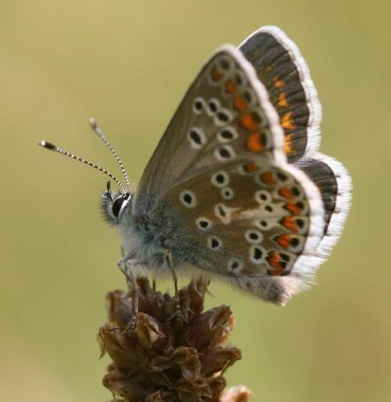 Brown Argus Butterfly Sees Positive Effects Of Climate Change [ScienceDaily 2008-06-06]; Image ONLY