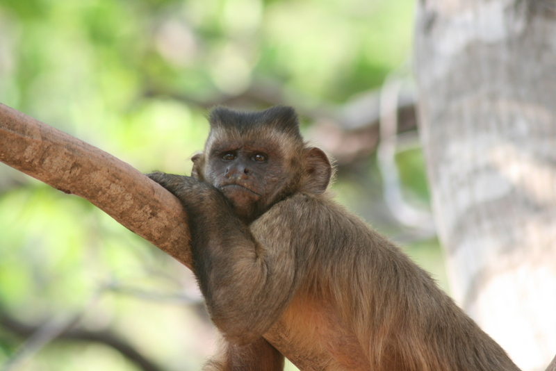 The symbolic monkey? Token-mediated economic choices in tufted capuchins [EurekAlert 2008-06-10]; DISPLAY FULL IMAGE.