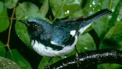 Black-throated Blue Warbler (Dendroica caerulescens) - Wiki; Image ONLY