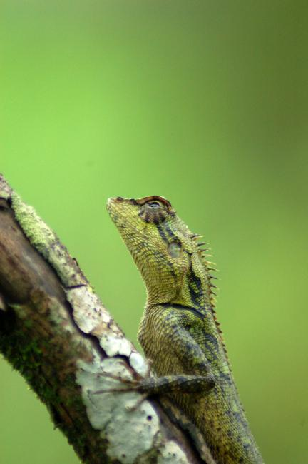 kindly identify this lizard found at koynanagar in western ghats in india; Image ONLY