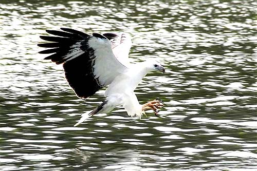 White-bellied Sea Eagle (Haliaeetus leucogaster); Image ONLY