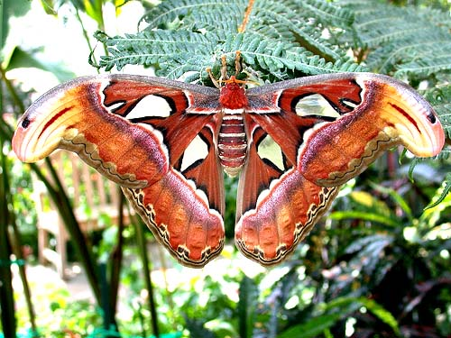 Atlas moth (Attacus atlas); Image ONLY