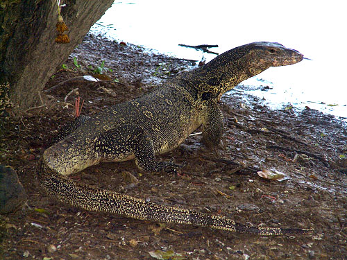 Water monitor lizard (Varanus salvator); Image ONLY