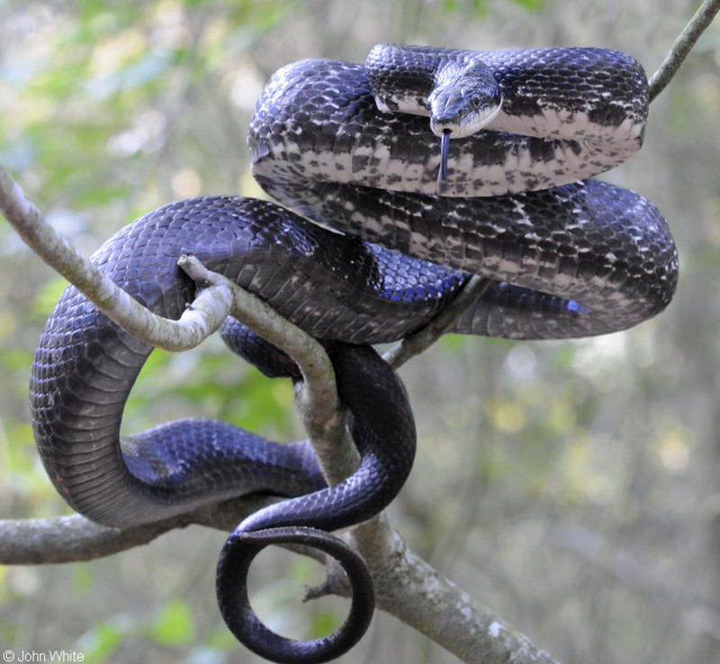 Eastern Ratsnake (Pantherophis alleghaniensis); DISPLAY FULL IMAGE.