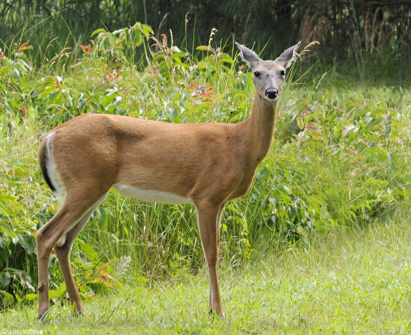 White-tailed Deer (Odocoileus virginianus); DISPLAY FULL IMAGE.