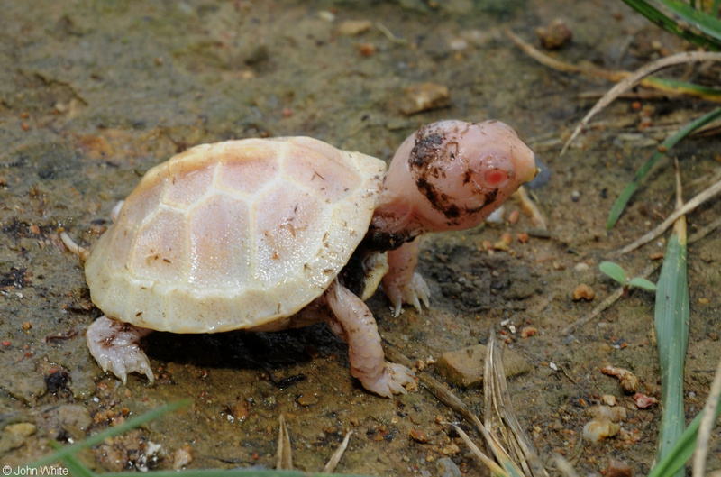 Eastern Box Turtle (Terrapene carolina carolina) - albino; DISPLAY FULL IMAGE.