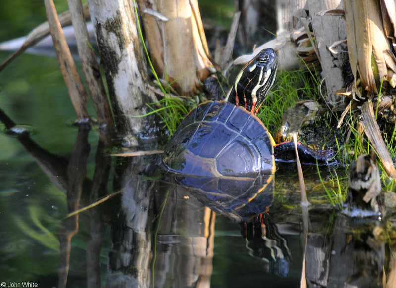 Eastern Painted Turtle (Chrysemys picta picta); DISPLAY FULL IMAGE.