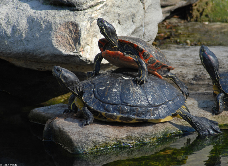Yellow-bellied Slider (Trachemys scripta scripta)-Northern Red-bellied Cooter (Pseudemys rubriventris); DISPLAY FULL IMAGE.