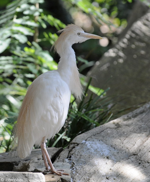 Cattle Egret (Bubulcus ibis); Image ONLY
