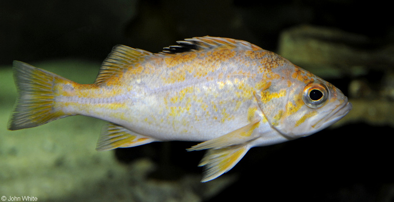 Canary Rockfish (Sebastes pinniger); DISPLAY FULL IMAGE.