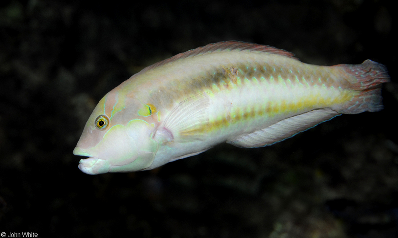 Slippery Dick (Halichoeres bivittatus); DISPLAY FULL IMAGE.