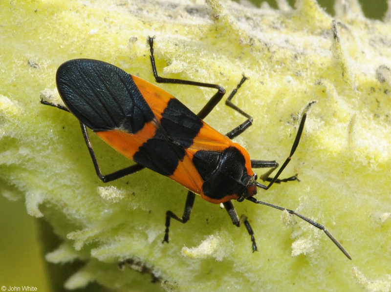 Large Milkweed Bug (Oncopeltus fasciatus); DISPLAY FULL IMAGE.