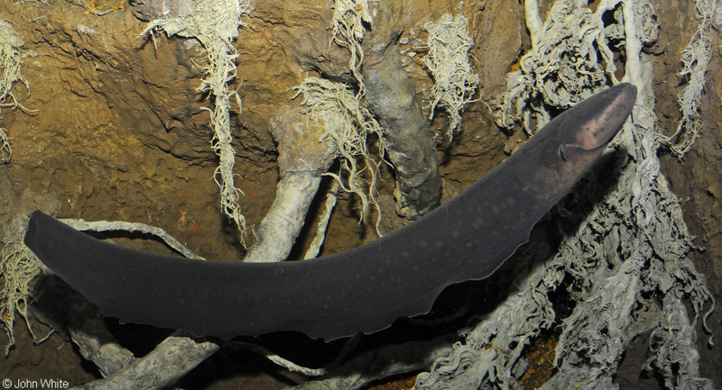 Electric Eel (Electrophorus electricus); DISPLAY FULL IMAGE.