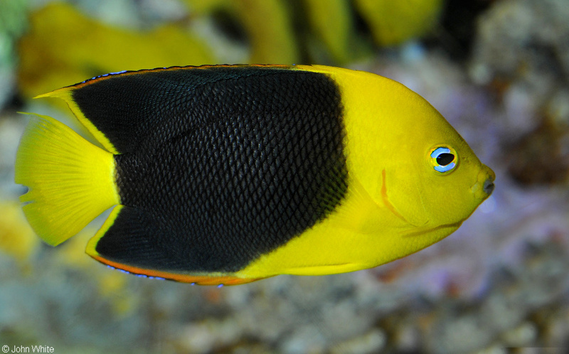 Rock Beauty (Holacanthus tricolor); DISPLAY FULL IMAGE.