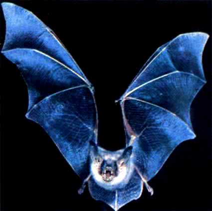 Whiskered bat (Myotis mystacinus); Image ONLY