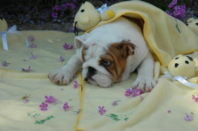 FREE Cute Lovely ENGLISH BULLDOG PUPPIES for ADOPTION Almost FREE to good homes; Image ONLY