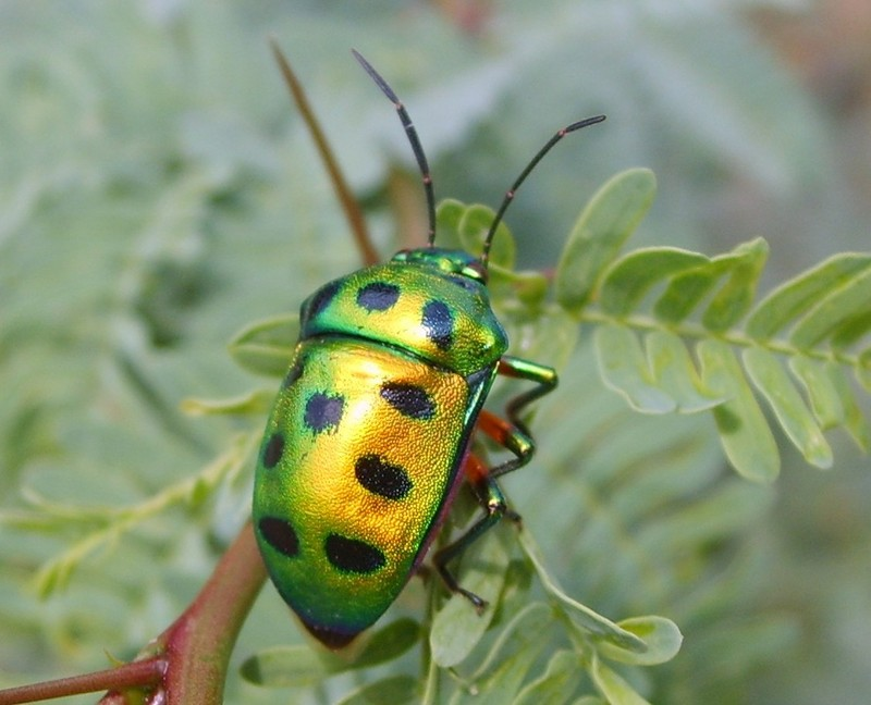 Indian Jewel Beetle; DISPLAY FULL IMAGE.