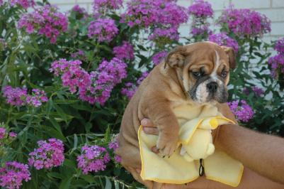 FREE EXMAS English bulldog puppies available Email: ninajoyce@yahoo.com; Image ONLY
