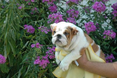 FREE XMAS English bulldog puppies available Email: ninajoyce@yahoo.com; Image ONLY