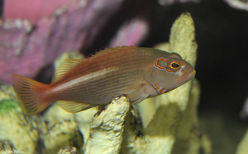 Arc Eye Hawkfish (Paracirrhites arcatus); DISPLAY FULL IMAGE.