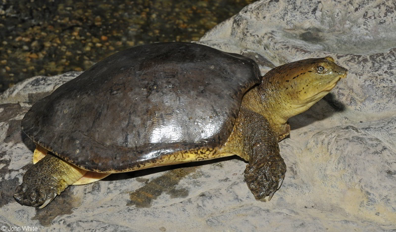 Indian flapshelled Turtle (Lissemys punctata)300; DISPLAY FULL IMAGE.