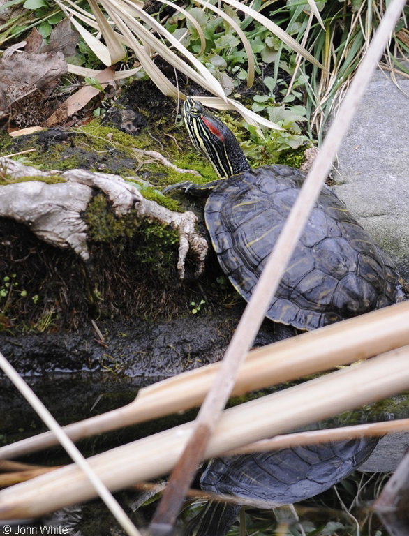 Red-eared Slider (Trachemys scripta elegans); Image ONLY