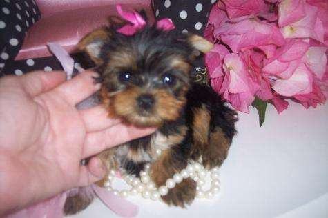 Two yorkie puppies for free adoption; Image ONLY