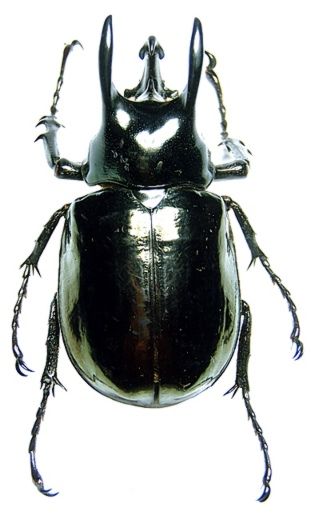 Coleopteras of Indonesia - Chalcosoma atlas; Image ONLY