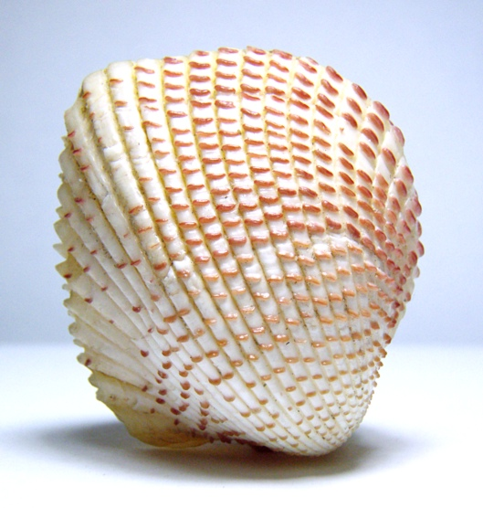 Bivalves of Indonesia - Fragum unedo; Image ONLY