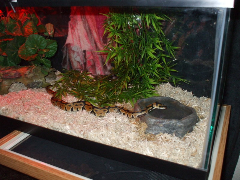 baby pastel ball python; DISPLAY FULL IMAGE.