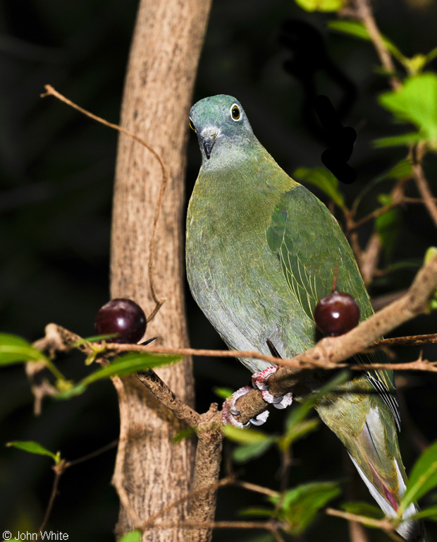 A female Black-naped Fruit-Dove (Ptilinopus melanospilus); Image ONLY