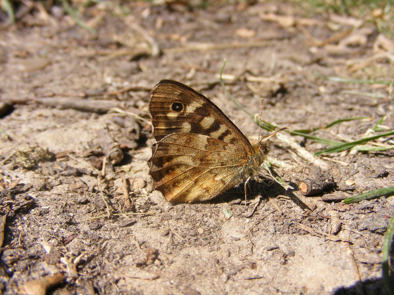 Speckled Wood Butterfly; DISPLAY FULL IMAGE.