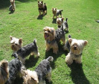 yorkie puppies; Image ONLY