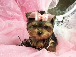 both male and female yorkie puppies for adoption; Image ONLY