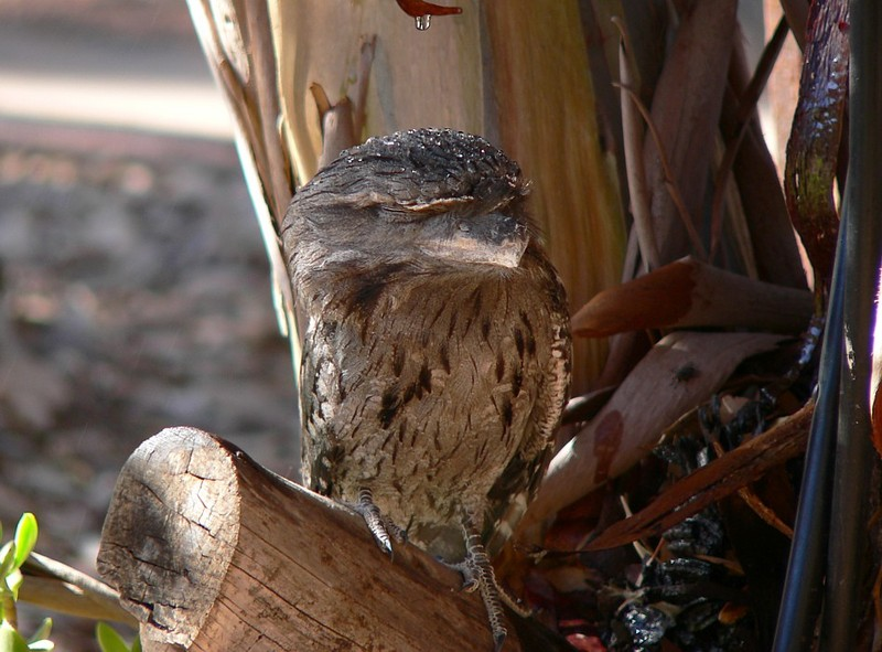 Cool frogmouth; DISPLAY FULL IMAGE.