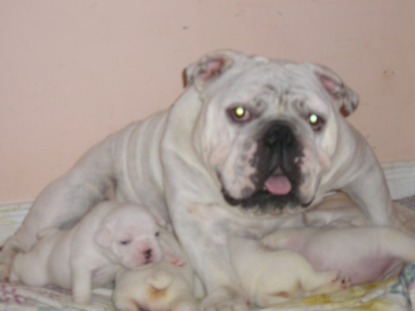 PURE BREED ADORABLE ENGLISH BULL DOG PUPPIES ADOPTION ALL FOR FREE, ALL SHOTS UP TO DATE, AKC, CKC REGISTERED ALL PAPERS AVAILABLE contact: monalisacla05@yahoo.com; Image ONLY