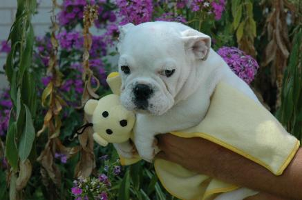 PURE BREED ADORABLE ENGLISH BULL DOG PUPPIES FOR ADOPTION ALL FOR FREE; Image ONLY