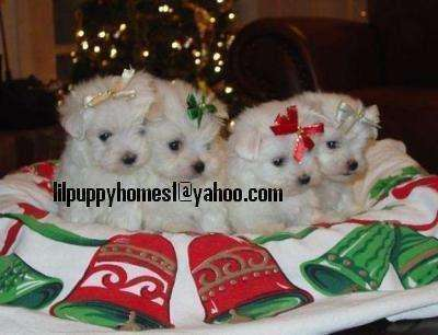 Pocket- Size Maltese Puppies For Adoption; Image ONLY