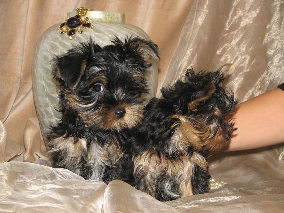 Cute Teacup Yorkie Puppies For Adoption; Image ONLY