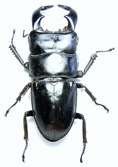 Coleopteras of Indonesia - Dorcus bucephalus; Image ONLY