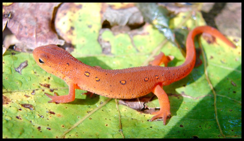 Red-Spotted Newt (Notophthalmus viridescens viridescens); DISPLAY FULL IMAGE.