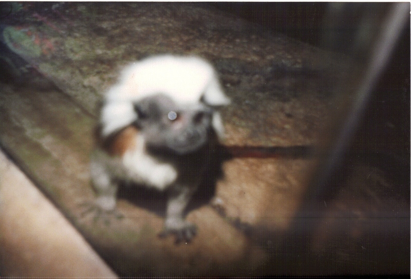 Cottontop Tamarin (Saguinus oedipus); DISPLAY FULL IMAGE.
