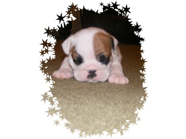 English bulldog puppies for free adoption; Image ONLY