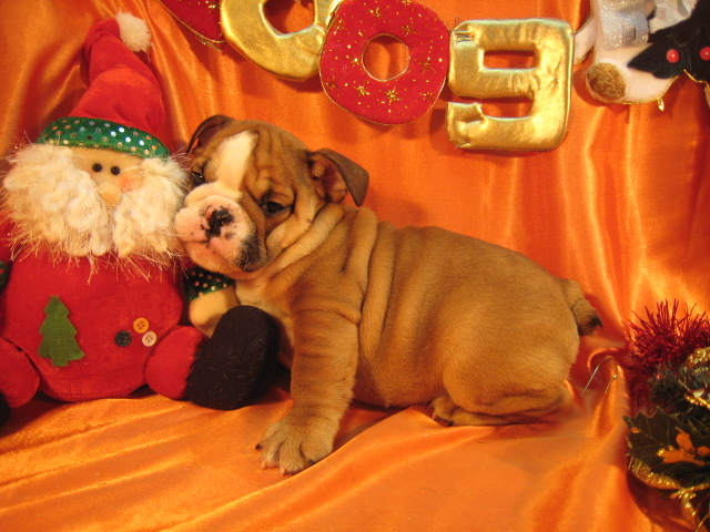 HEALTHY MALE AND FEMALE ENGLISH BULLDOG PUPPIES; Image ONLY