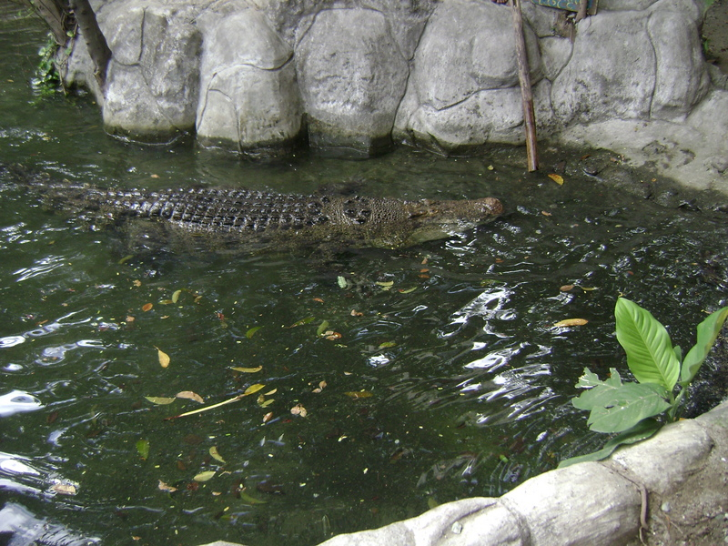 philippines croc at Manila zoo; DISPLAY FULL IMAGE.