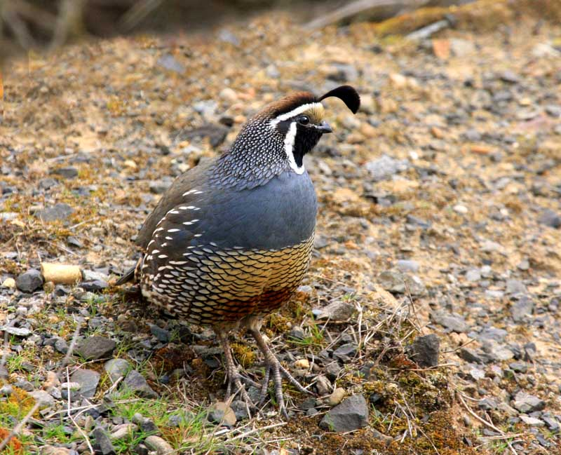 California Quail - Callipepla californica; DISPLAY FULL IMAGE.