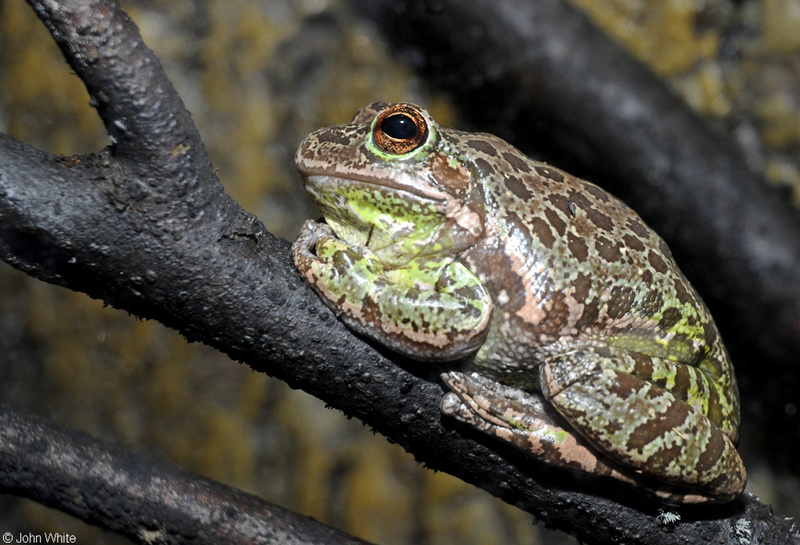 Barking Treefrog (Hyla gratiosa); DISPLAY FULL IMAGE.