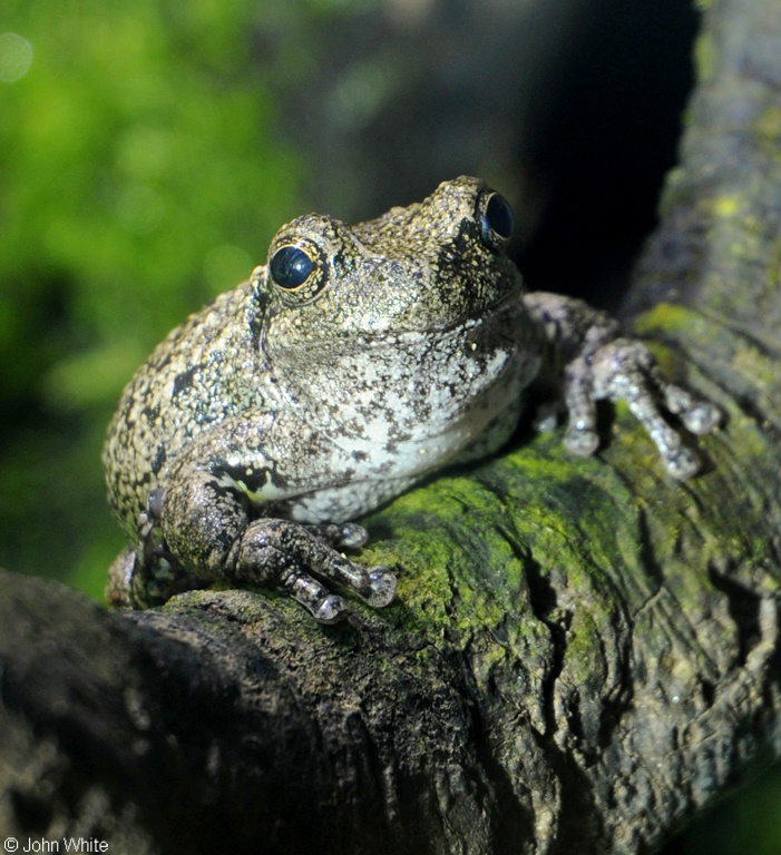 Copes Gray Treefrog (Hyla chrysoscelis); Image ONLY