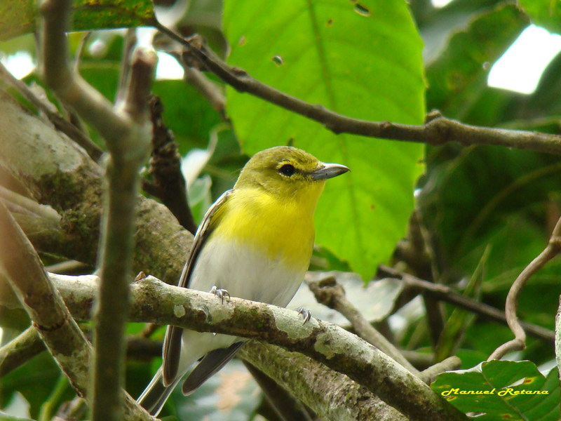 Vireo flavifrons; DISPLAY FULL IMAGE.