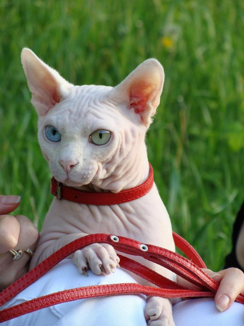 Odd eyed Sphynx cats, Ukraine, GICH(WCF), BOB SPH WCF - Commonwealth'09; DISPLAY FULL IMAGE.